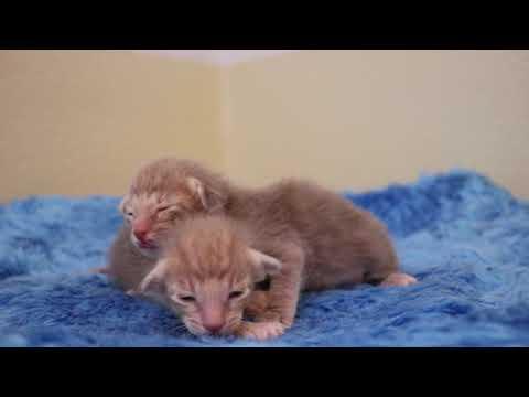 lilac oriental shorthair kittens
