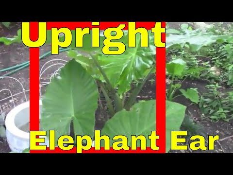 Upright Elephant Ears Alocasia Garden Landscape Plants Dallas