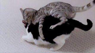 Bengal Cat Attacks Older Cat | 4K