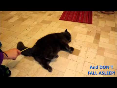Murfi the Exotic Shorthair VS the Stick FUNNY CAT