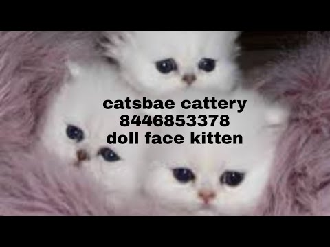 12 days old cute Persian cat kitten|Persian cat selling all over india|spa |grooming|cat