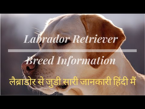 Labrador Retriever Dog Breed हिंदी में | Fun Facts |A-Z Breed Info | Hindi |