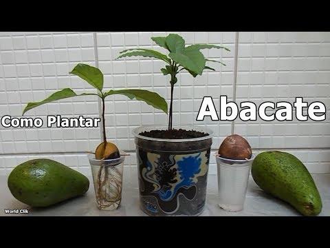 Como Plantar Abacate da forma mais fácil e rápida, passo a passo