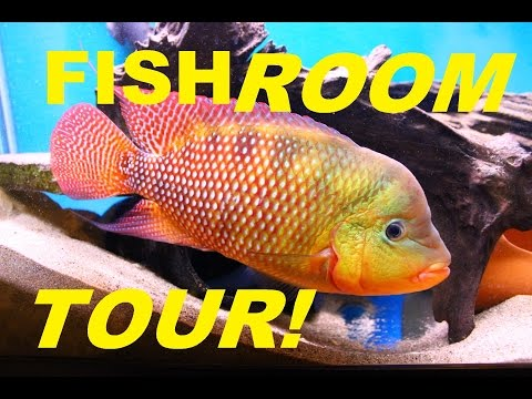 WET PETS FISH ROOM TOUR. LOADS OF CICHLID FRY, WHO'S GROWING OUT & WHO I WANT TO BREED NEXT.