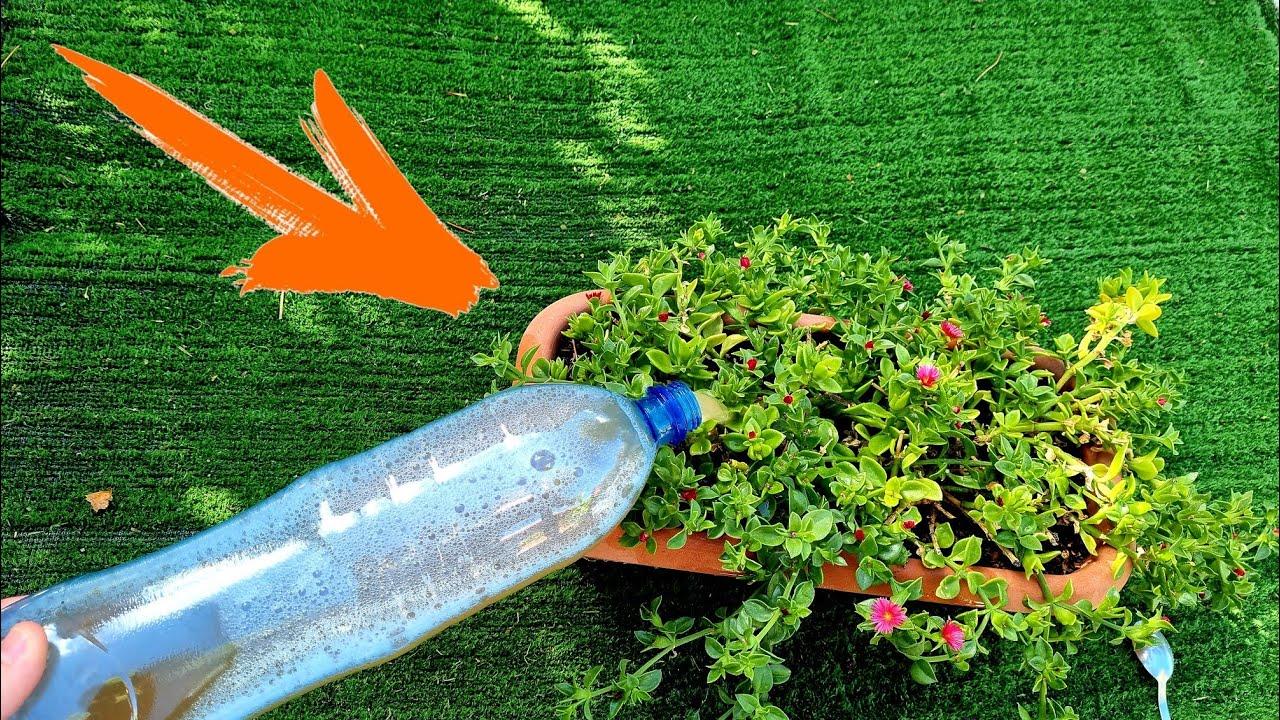 Echa ESTO a tus PLANTAS y lucirán HERMOSAS todo el año! Abono casero Revitalizante (Fácil Floración)