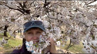 #1175 Корея Сеул Цветение сакуры Косметика Missha и тонны масок