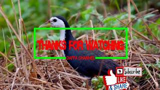 Suara Pemikat Burung Ruak Ruak Paling Mantap /  The Most Enchanting Voice of the Ruak Ruak #birding