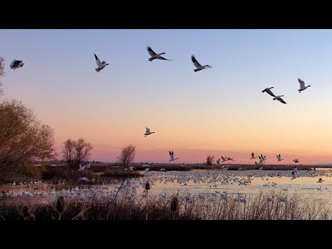 Waves of Snow Geese Sunset Fly-out  from Sacramento National Wildlife Refuge