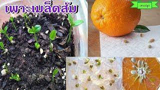 วิธีเพาะเมล็ดส้ม ปลูกต้นส้ม ปลูกง่าย โตไว ต้นไม้มงคล ปลูกไว้ทาน ปลูกเป็นไม้ประดับ