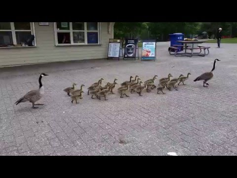 Canada geese walking their goslings to school