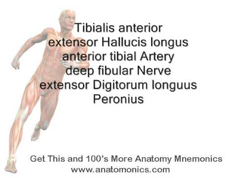 Leg Anterior Muscles Of Leg Mnemonic Youtube
