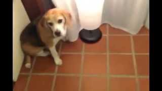 Da Hoske Uses His Fat Beagle Ass To Switch On Lamp!