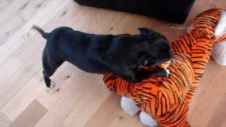 Staffordshire Bull Terrier Mauls Tiger!