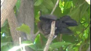 オナガクロムクドリモドキの巣立ち雛
