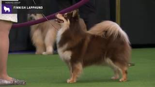 Finnish Lapphunds | Breed Judging 2020
