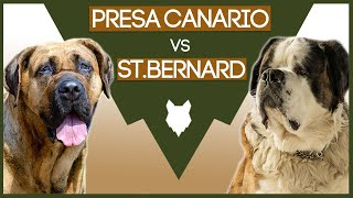 PRESA CANARIO vs ST BERNARD! The BEST Mastiff Breed For First Time Owners!