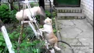 драка кошек за лестницу 480
