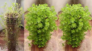 Amazing Ideas | Recycle Plastic Bottles to Grow Mint at Home for Beginners