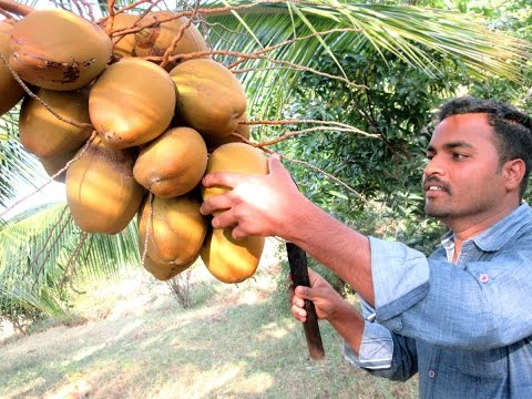 FARM FRESH Coconut water in My Village | TASTY WATER | VILLAGE FOOD