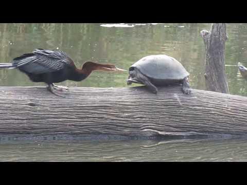 Bird versus Turtles (Battle) in Kruger National Park : Part 1