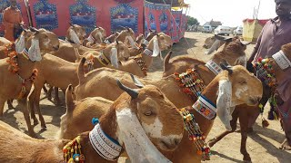 Goat Show part1 (sachal sain) |Documentary