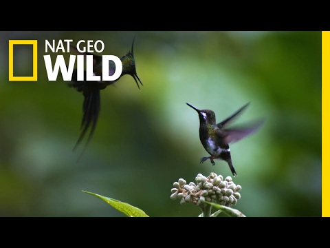 A Little Bit of Hummingbird Love | Animal All-Stars