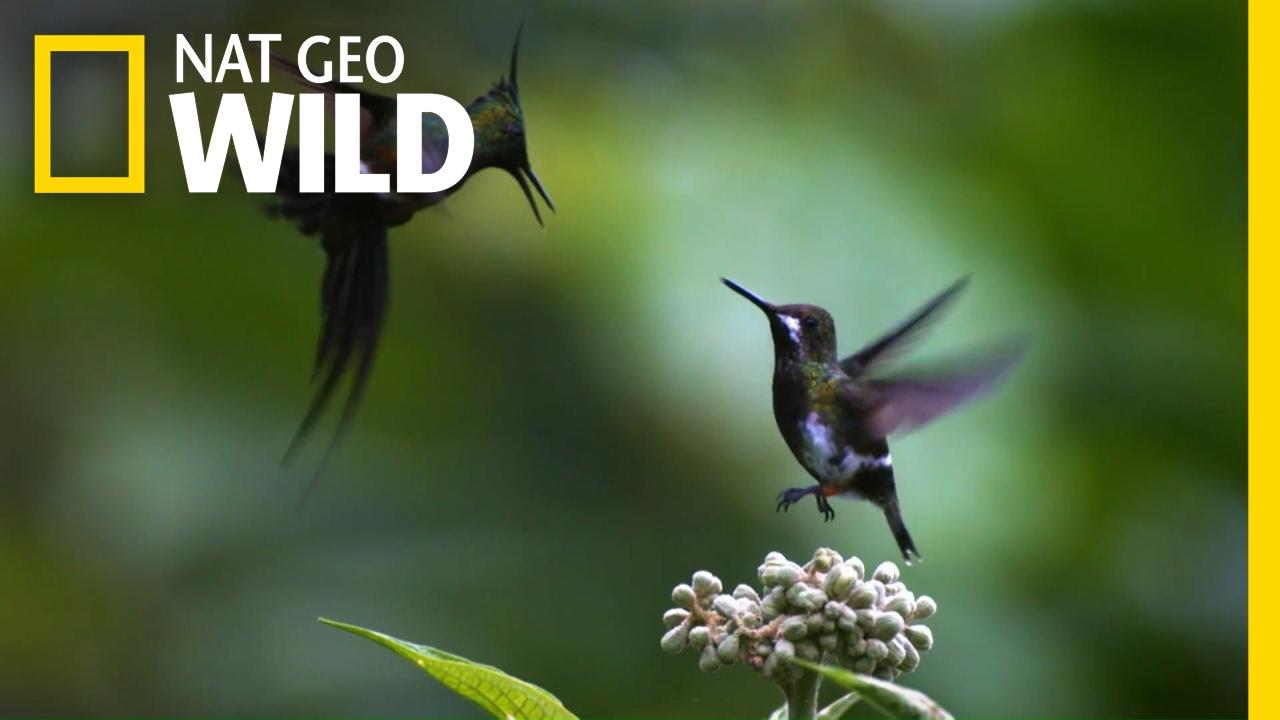 A Little Bit of Hummingbird Love   Animal All-Stars