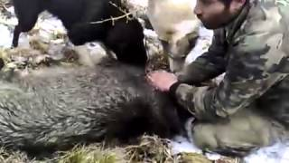 pig hunting in georgia, свиньи о�...