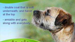 Know More About Your Border Terrier