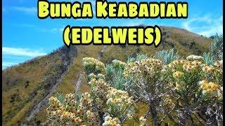 Bunga Abadi ( EDELWEISS) |  LAGU PARA PENDAKI & PENCINTA ALAM | TAMASYA BAND