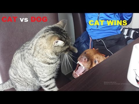 Cat vs Pitbull