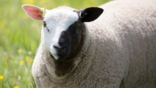 A sheep that has been nicknamed