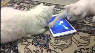 ► Коты и планшет. Игра: поймай рыбку
