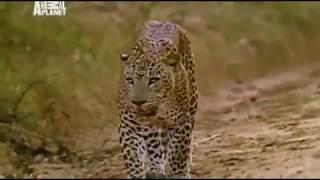 Животные. Людоеды. Тигры. Леопарды