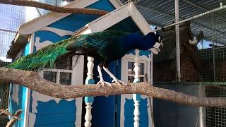 Красавец павлин,фазан королевский,голуби