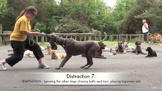 Alpha Dog Training: Drop Step-away (stay) Distractions