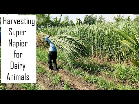 Harvesting Super Napier for Dairy Farming in Tamil Nadu @ 9790987145 / High yielding green fodder