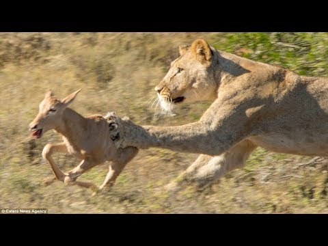 The Difference Between Female Lion and Male Lion Towards the Calf