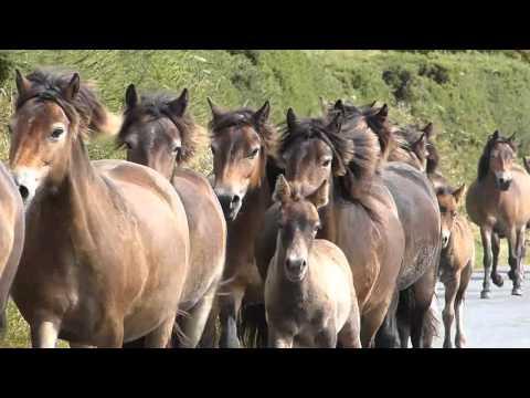 Exmoor's Wild Ponies!Tippbarlake Wild Westcountry Gathering