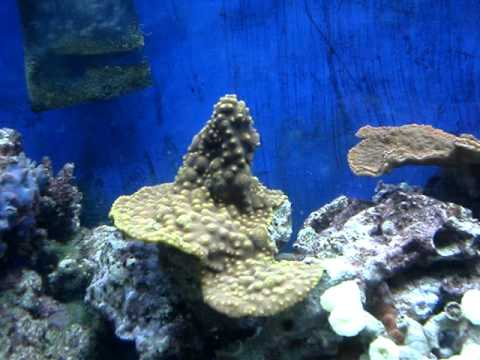 Reef Aquarium Hitchhiker Worms Spawning & Reproducing