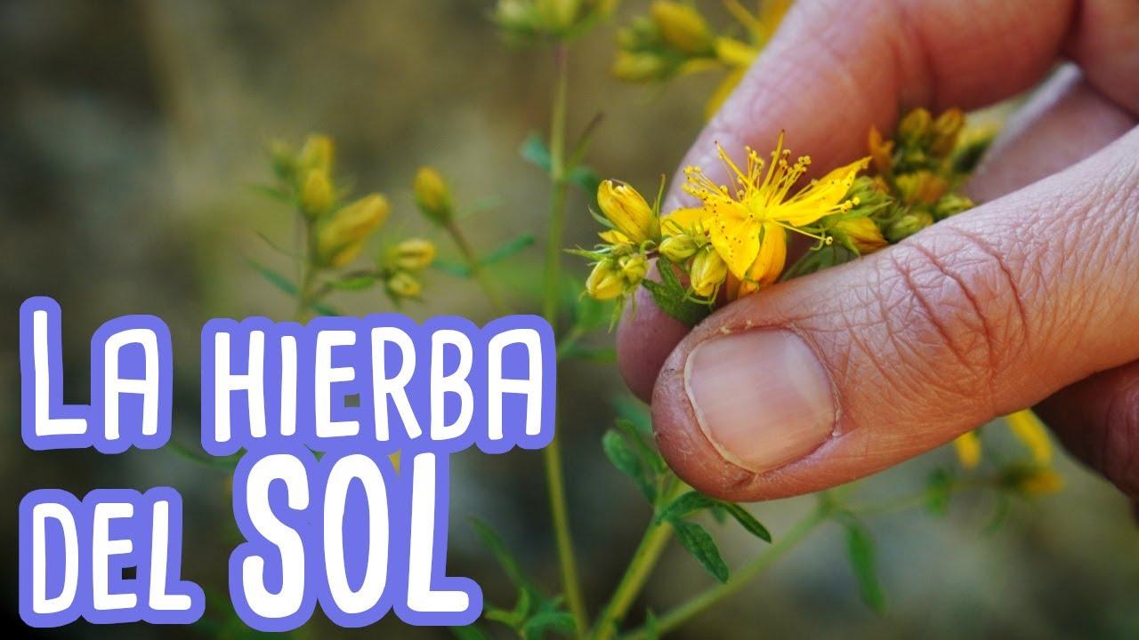 Hipérico. Cómo identificar, propiedades, beneficios y usos de la hierba de San Juan