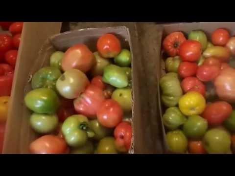 Как в домашних условиях ускорить созревание томатов и перцев.