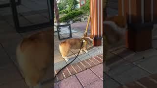 웰시코기 강아지 산책 …