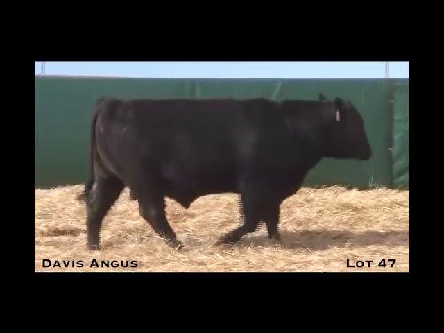 Davis Angus Lot 47
