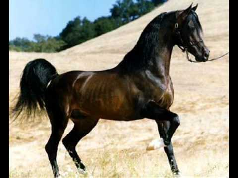 Arab horses flaminio horses youtube - Arabian horse pictures ...