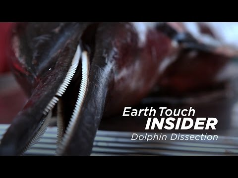 Thumbnail: Dissecting a dolphin to find cause of death
