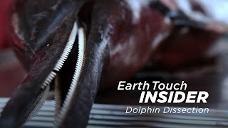 Dissecting a dolphin to find cause of death