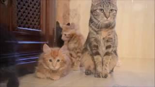 Милые котята курильского бобтейла.