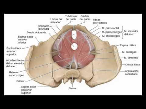 EMIS-Biología del Desarrollo: Músculos del suelo pélvico y periné ...