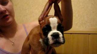 Puppy Boxer - For Sale !